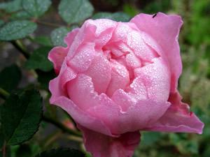 Rose5_1