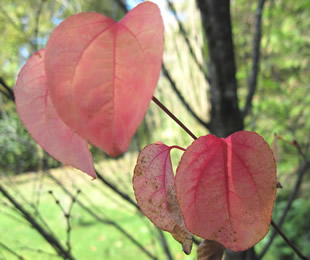 Flutterby patch autumn pinks the little pink heart shaped leaves on the katsura tree cercidiphyllum have nearly all fallen mightylinksfo