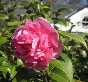 Camellia_1